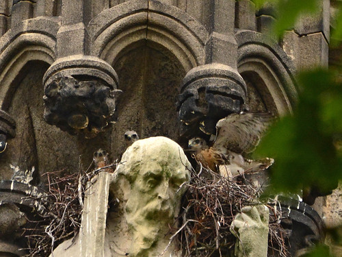 Cathedral Hawk Nestlings (0838)