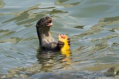 Wild Otter Singapore