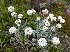 shrub(0.0), iberis sempervirens(0.0), chamaemelum nobile(0.0), tanacetum parthenium(0.0), yarrow(1.0), flower(1.0), alyssum(1.0), candytuft(1.0), plant(1.0), subshrub(1.0), herb(1.0), wildflower(1.0), flora(1.0),