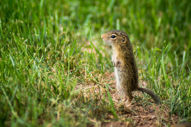Ground Squirrel, Baby, Standing, Grass, Young, Juvenile