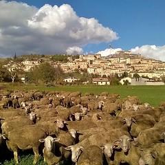 Si so' abbotte #pecore #ovini #gregge #navelli #laquila #abruzzo #italy