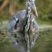 Heron by - Alex Witt -