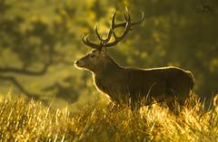 Hert / Red deer / Cerf