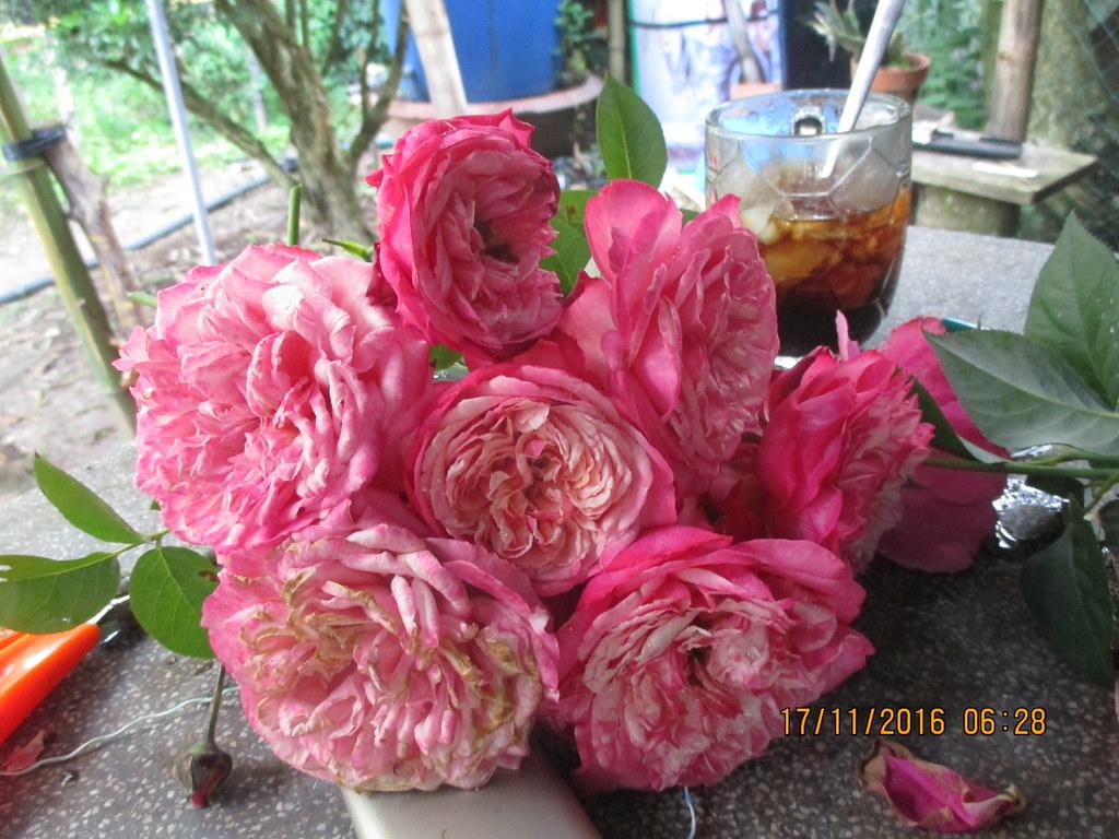 Hoa hong ngoai Kordes Jubilee (4)