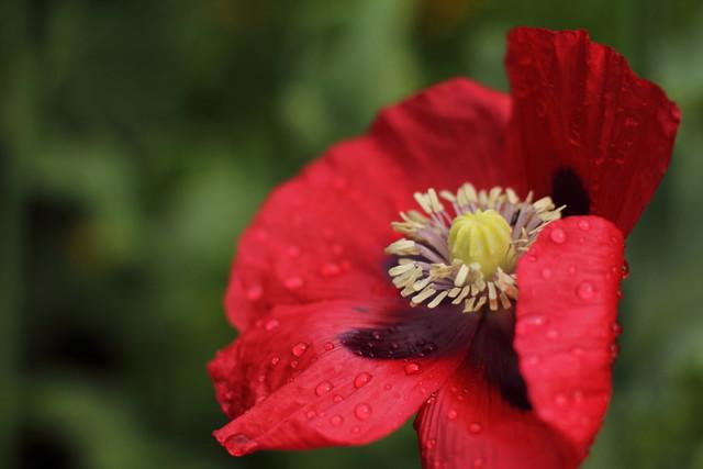 Rain-soaked Poppy