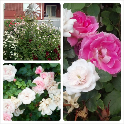 Summer Roses College II