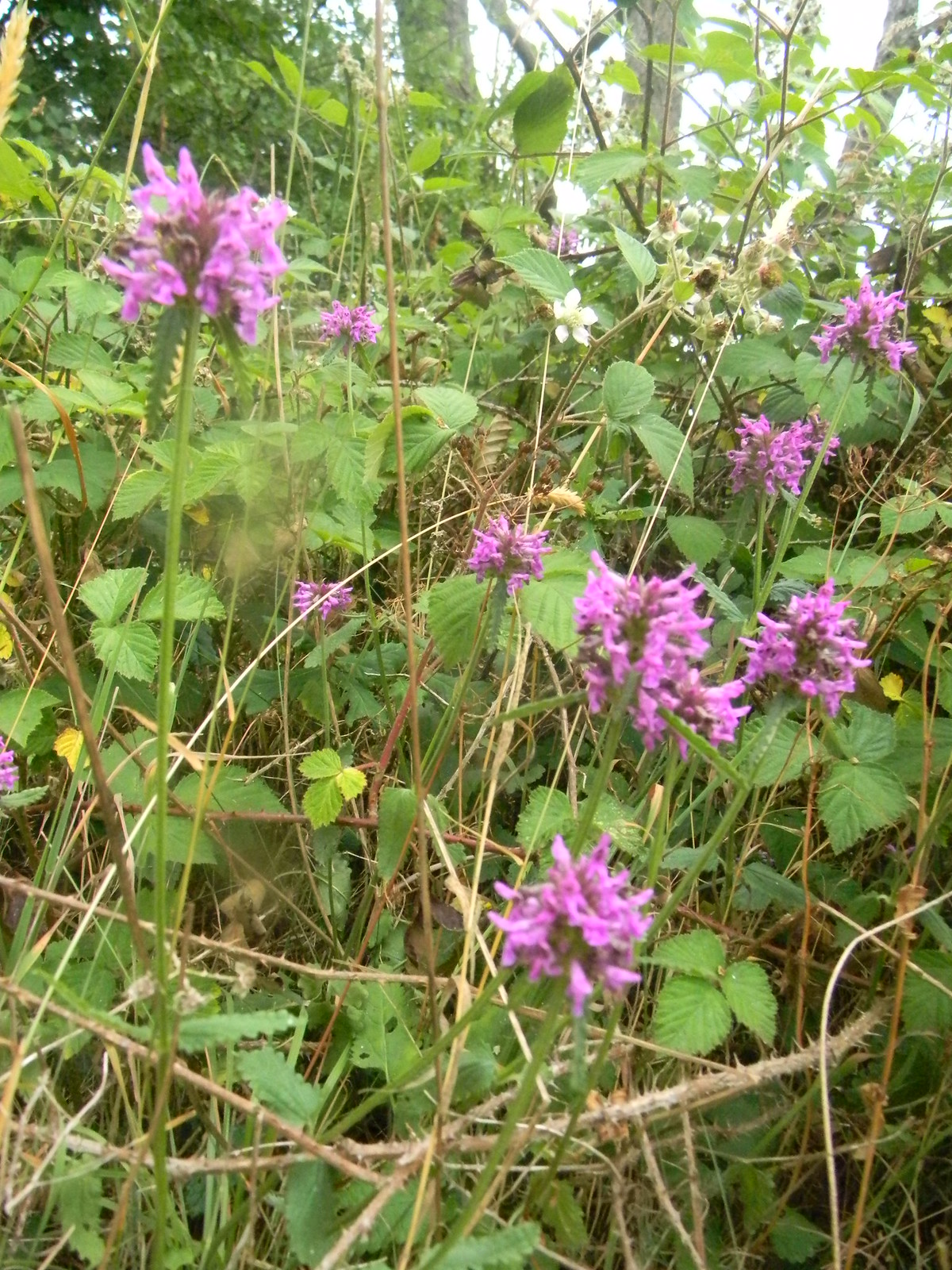 Mystery plant Mortimer to Aldermaston self-heal maybe?