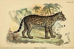 lynx(0.0), hyena(0.0), cartoon(0.0), animal(1.0), small to medium-sized cats(1.0), sketch(1.0), mammal(1.0), fauna(1.0), drawing(1.0), wild cat(1.0), illustration(1.0), savanna(1.0), bobcat(1.0),