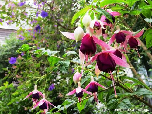 Filbert_flowers6