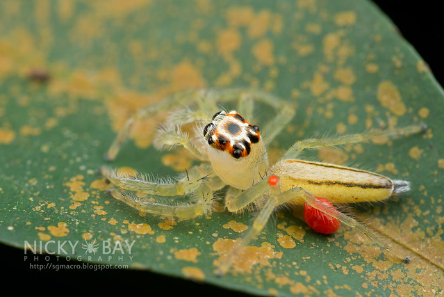 Jumping Spider (Salticidae) - DSC_3236