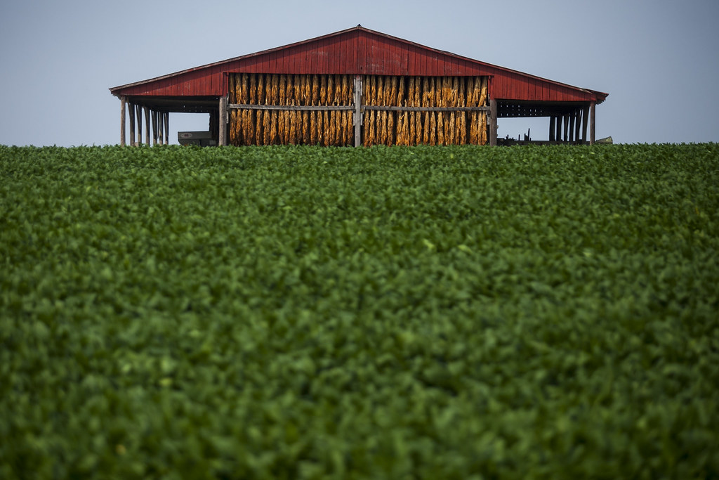 Tobacco and Soybeans