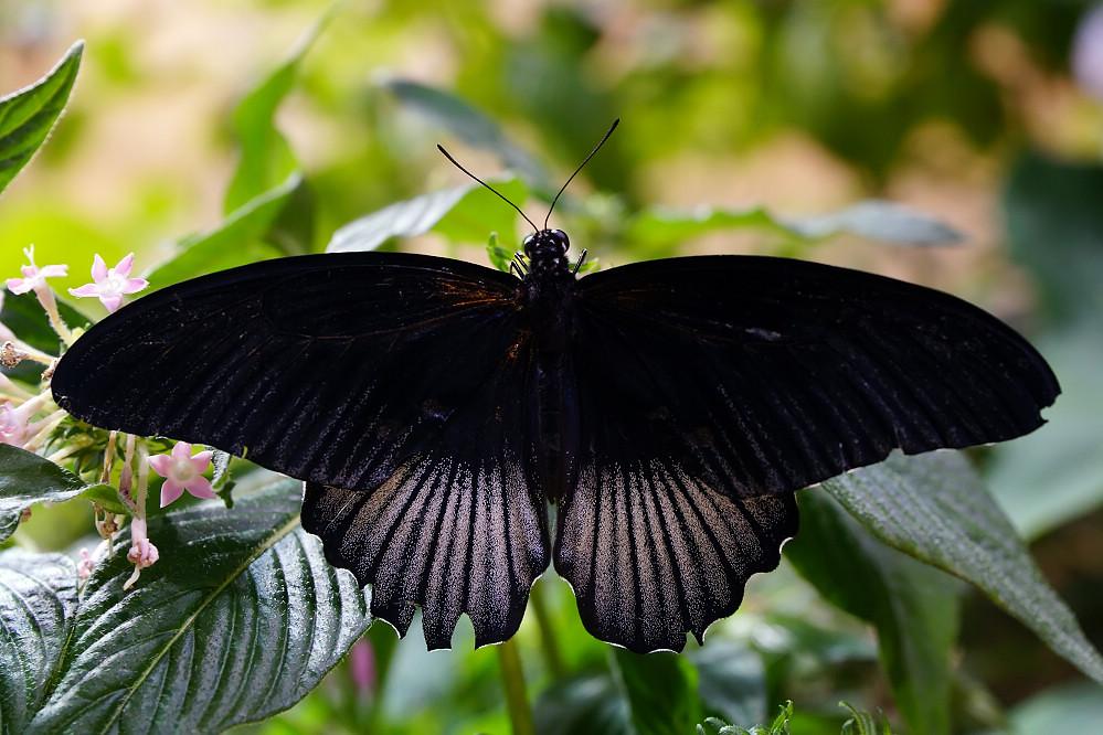 美洲鳳蝶 Papilio-1