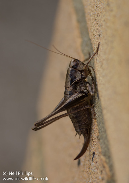 dark bush cricket