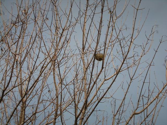 メジロの巣を発見.巣材の一部にナイロン製のロープが使われるようになり,ヒナの巣立ち時の事故があることを聞いた.
