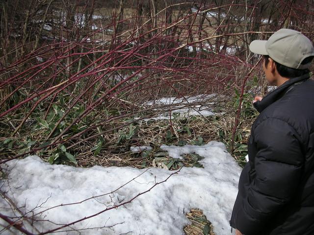 クマイチゴの枝を見ると,高いところまでかじられた跡があり,積雪の高さが窺える.