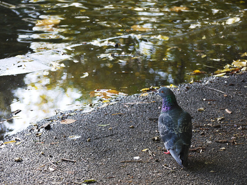 Pigeon by the water