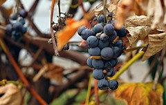 Backyard grapes (2).  Siennow village
