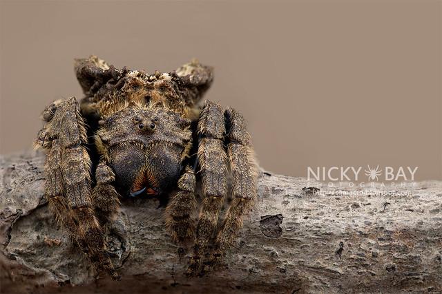 Big-Headed Bark Spider (Caerostris sp.) - ESC_0553