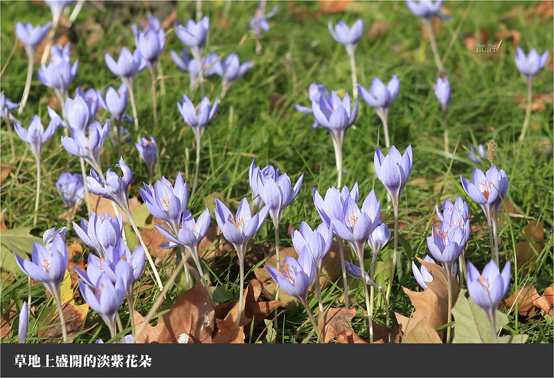 草地上盛開的淡紫花朵