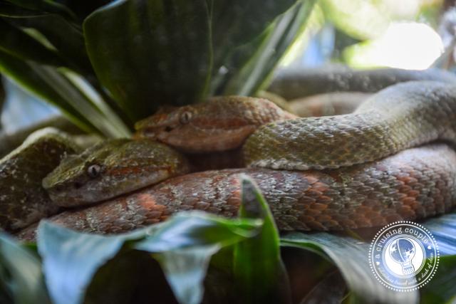 Snakes Jaguar Rescue Center