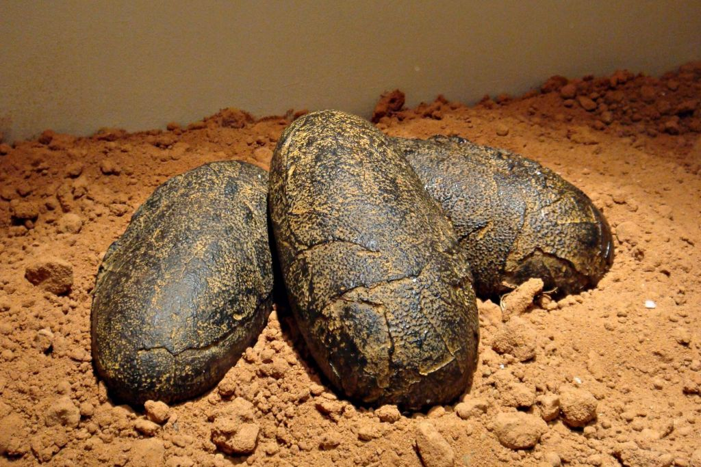 12. Huevos fósiles de dinosaurio