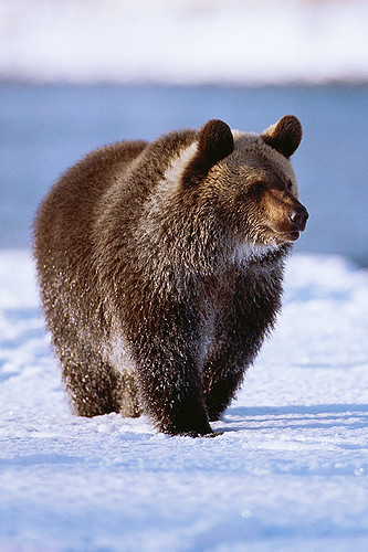 Wildlife in British Columbia, Canada: Grizzly Bear