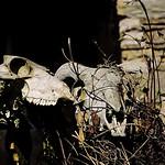 Nannerth Skulls