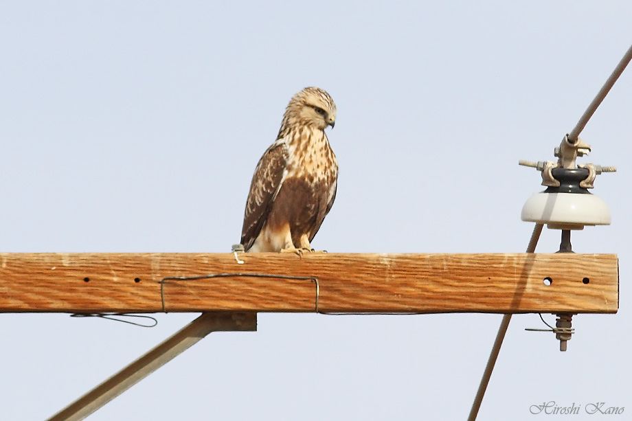 Rough-Legged Hawk 121713-05
