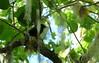 Jamaican Blackbird (Nesopsar nigerrimus)