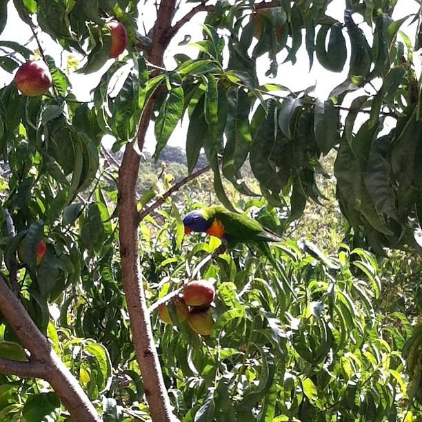 Rainbow lorikeets enjoying our nectarine tree