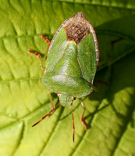 Green Shield Bug Palomena prasina Tophill Low NR, East Yorkshire May 2014