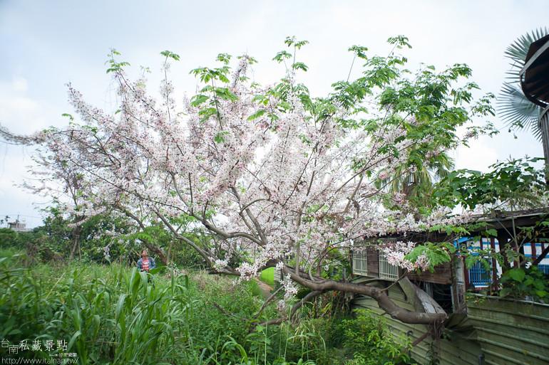 台南私藏景點--台1線花旗木 (7)