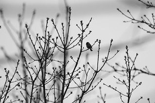 The Chickadee Song