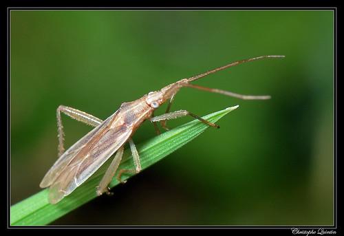 Stenodema sp. (Stenodema laevigata ?)