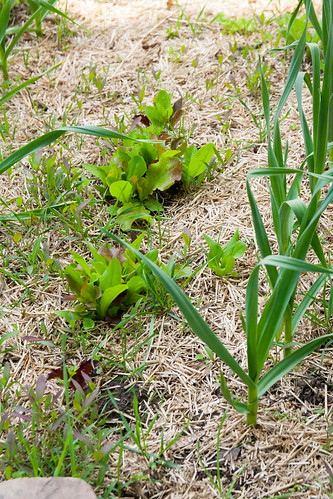 20garlic+lettuce+spinach+carrot.jpg