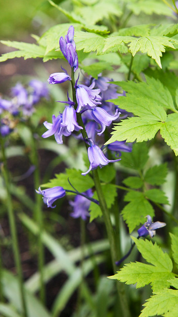 hyacinth. Botanic garden. Lviv, Ukraine