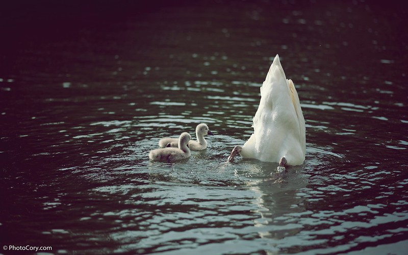Swan with babies at Flagey, Ixelles Lakes
