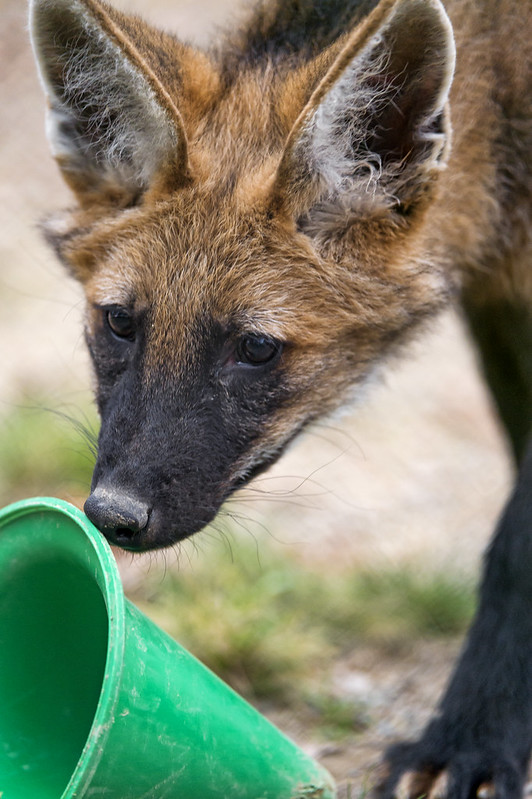 Young maned wolf with a green toy