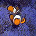 Clown anemonefish (Amphiprion percula) with blue variety of anemone (Stichodactyla gigantea), Misool, Raja Ampat, West Papua, Indonesia