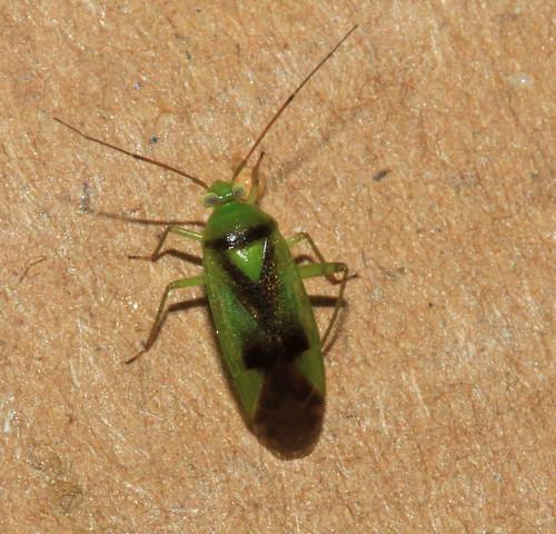 Neolygus viridis 30769