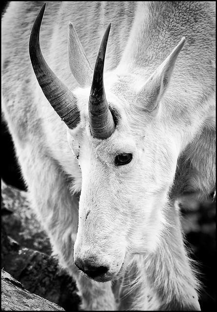 Miller Peak goat