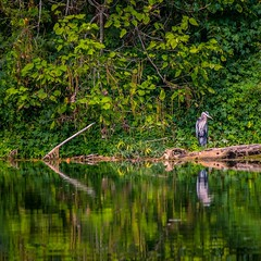 #greatblueheron #northforkriver #northforkresort #NorthernVirginia