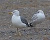 Lesser Black-backed Gull (adult cycle)