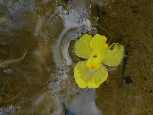 bladderwort littlefloatingbladderwort utriculariaradiata