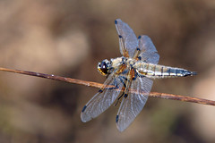 Four-spotted Chaser, Troy Quarry, Grane Haslingden, July 2013
