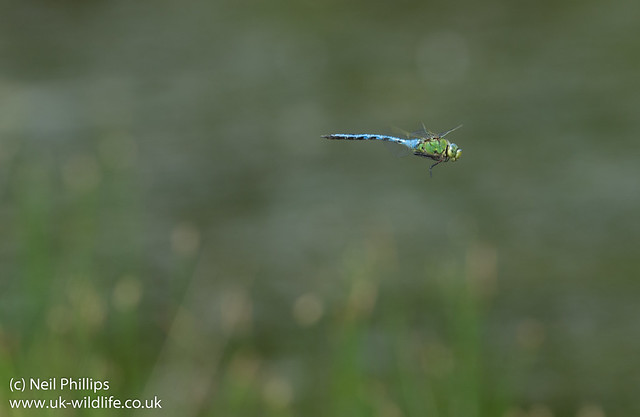 emperor dragonfly in flight Anax imperator