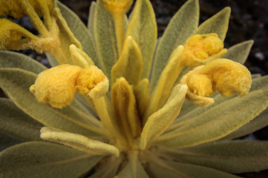 Close-up of our favourite Andean plant. Meet miss Fray Le Jónes! PNN EL Cocuy. Colombia.