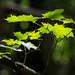Black Forest Light by PopsDigital
