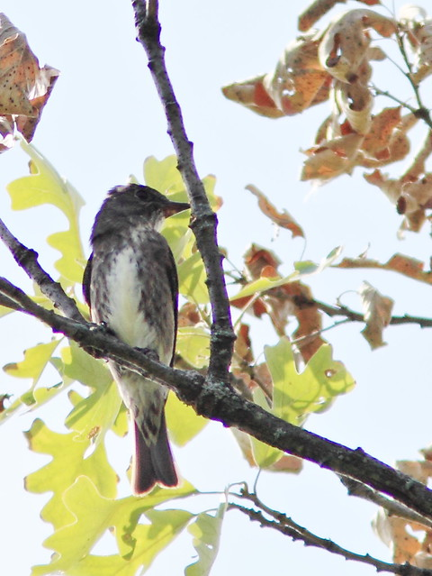 Olive-sided Flycatcher 2-20130815