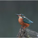 kingfisher by TONYSUE210
